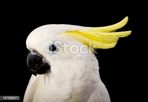 A sulfur crested cockatoo against a black background.