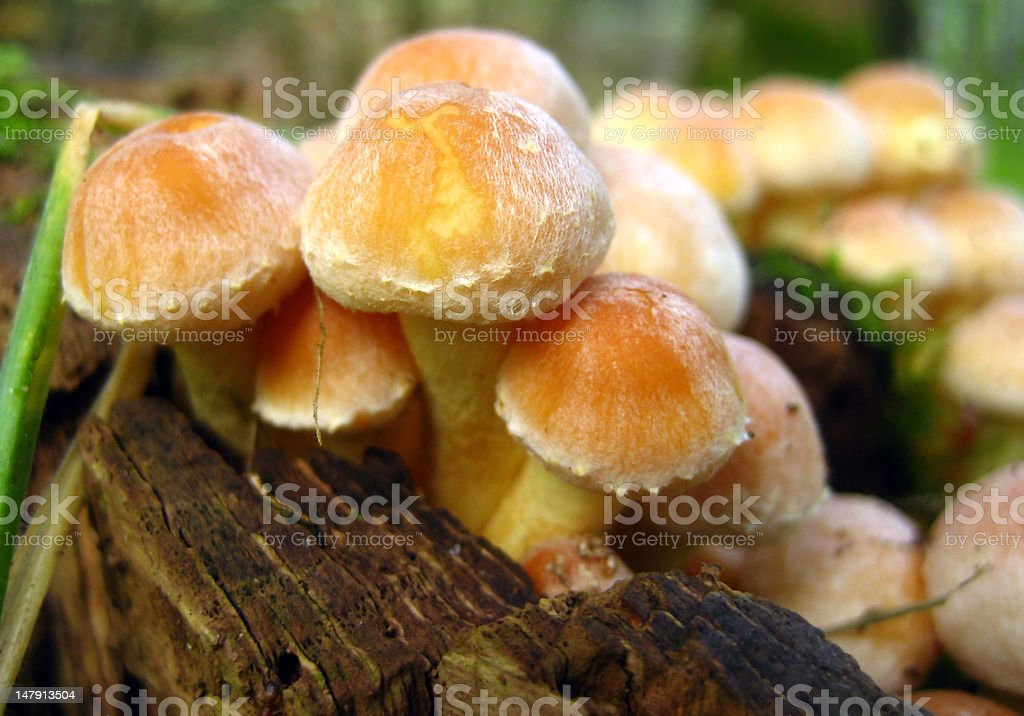sulfur tuft  in autumn stock photo