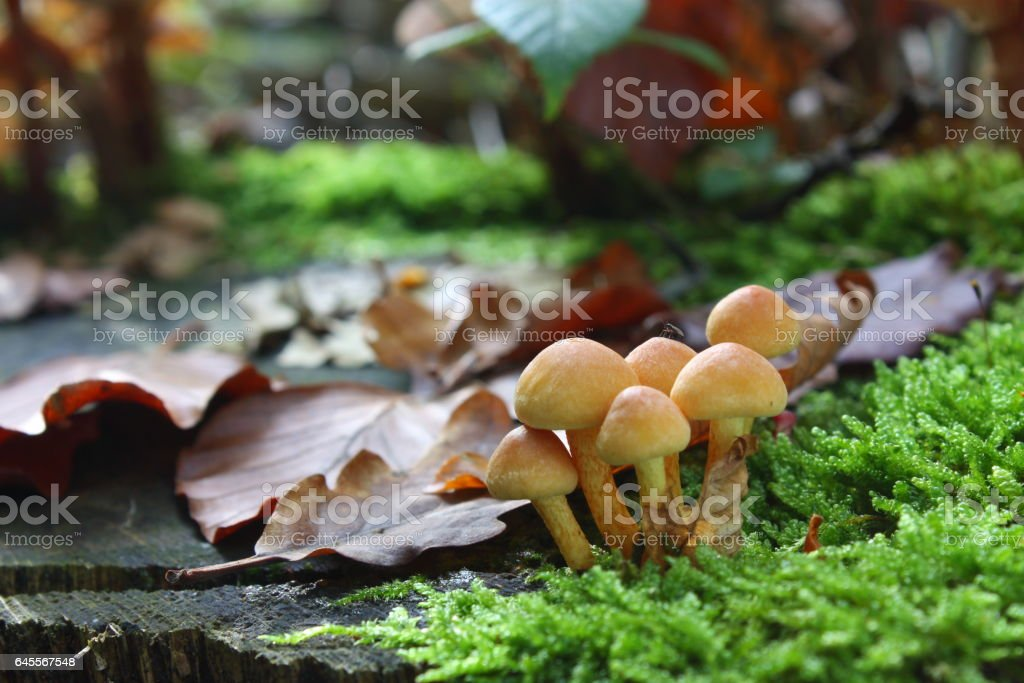 sulfur tuft or clustered woodlover mushroom stock photo