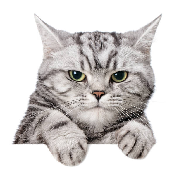 Sulky cat (british shorthair) over a white banner stock photo