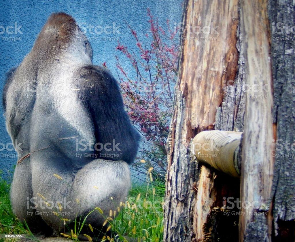 Sulky gorilla stock photo
