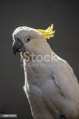 Sulpher crested cockatoo..and iconic Australian bird