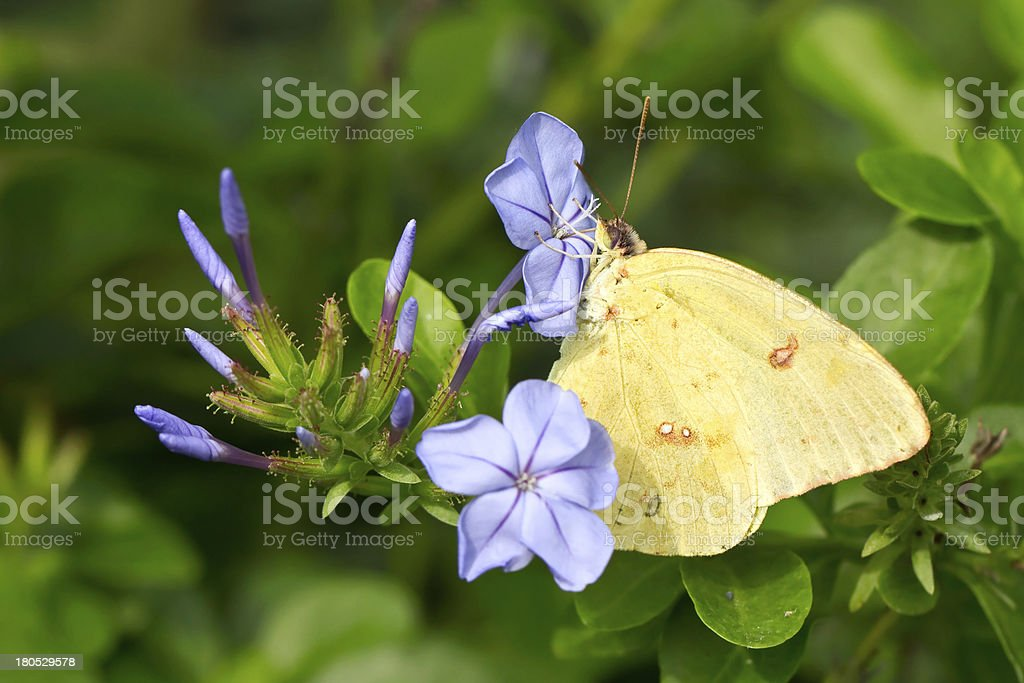 Sulphur butterfly feeding on blue flowers royalty-free stock photo