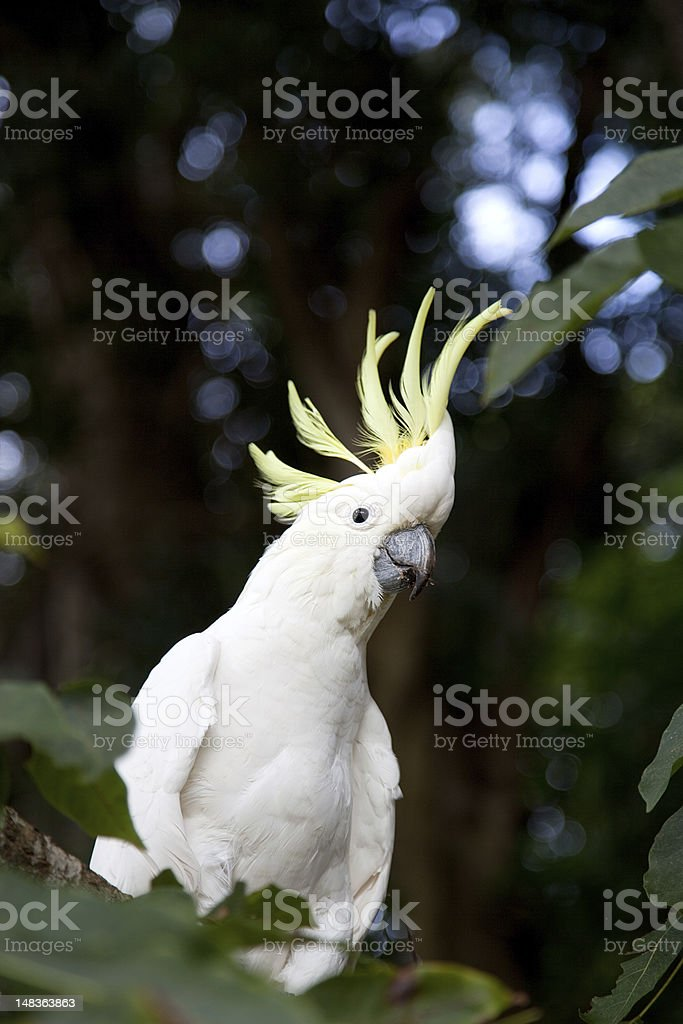 Sulphur Crested Cockatoo - Cacatua galerita stock photo