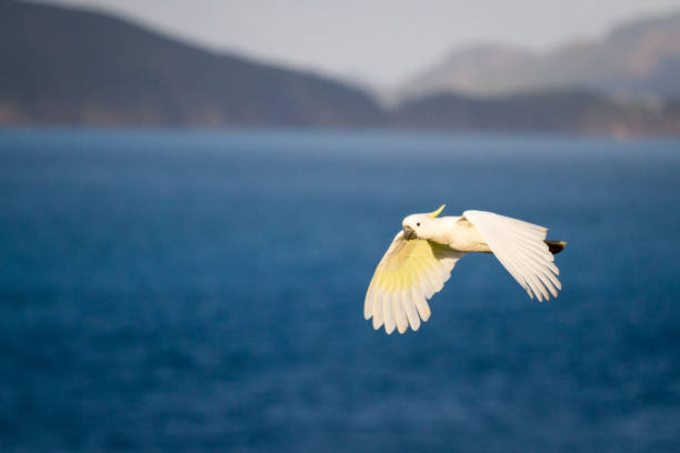 A Sulphur Crested Cockatoo flys against an island backdrop stock photo