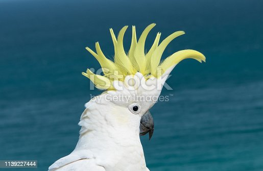 A large white parrot whose scientific name is Cacatua galerita. Its Australian habitat extends throughout the northern and eastern mainland, and Tasmania.