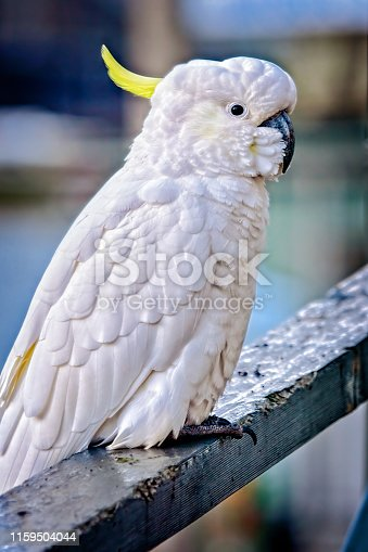 Close up portrait of a sulphur crested cockatoo perched on a railing