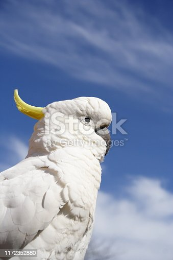Sulphur Crested Cockatoo with cloudy blue sky background