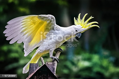 Cacatua galerita with outstretch wings