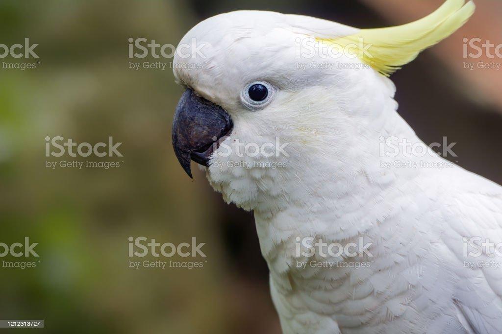 Sulphur Crested Cockatoo - Royalty-free Animal Stock Photo