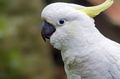 istock Sulphur Crested Cockatoo 1212313727