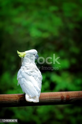 Cacatua galerita perched on a fence