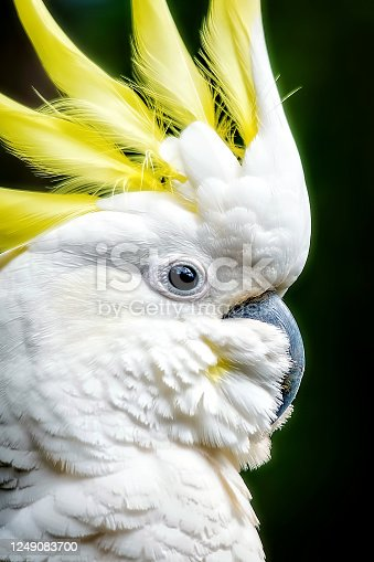 Cacatua galerita close up