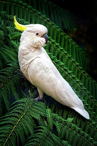 Cacatua galerita perched in a tree fern