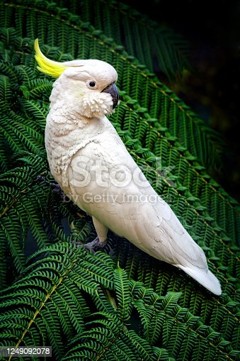 Cacatua galerita perched in a tree fern