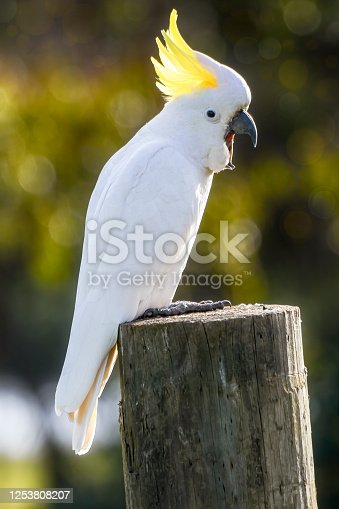 Cacatua galerita perched on a wooden pole
