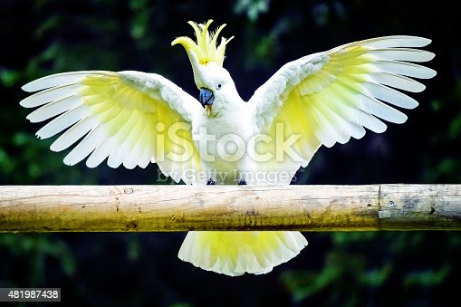 Sulphur Crested Cockatoo with outstretched wings