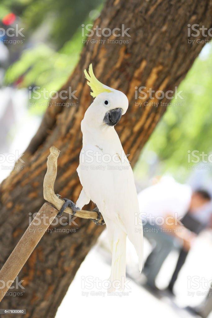 Sulphur Crested Cockatoo - foto de stock