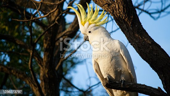 A sulphur crested cockatoo showing off