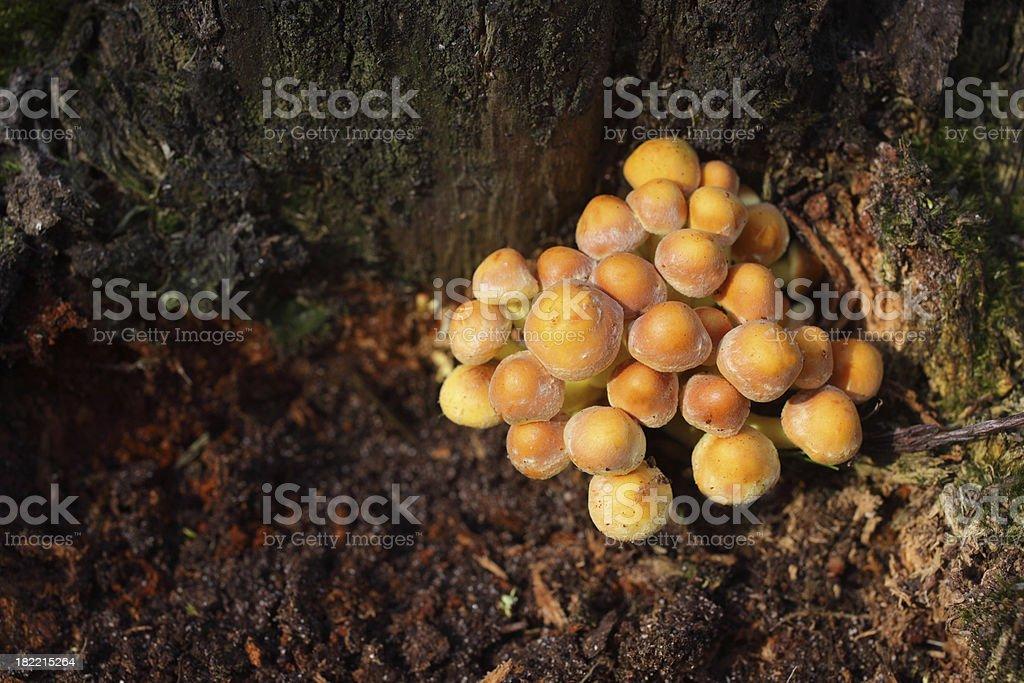 Sulphur tuft mushroom - Hypholoma fasiculare stock photo