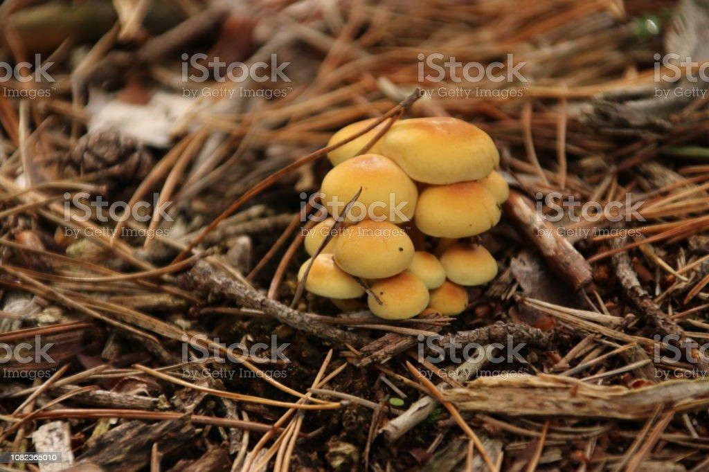 zwavel tuft of geclusterde woodlover paddestoelen in het bos in de herfst foto