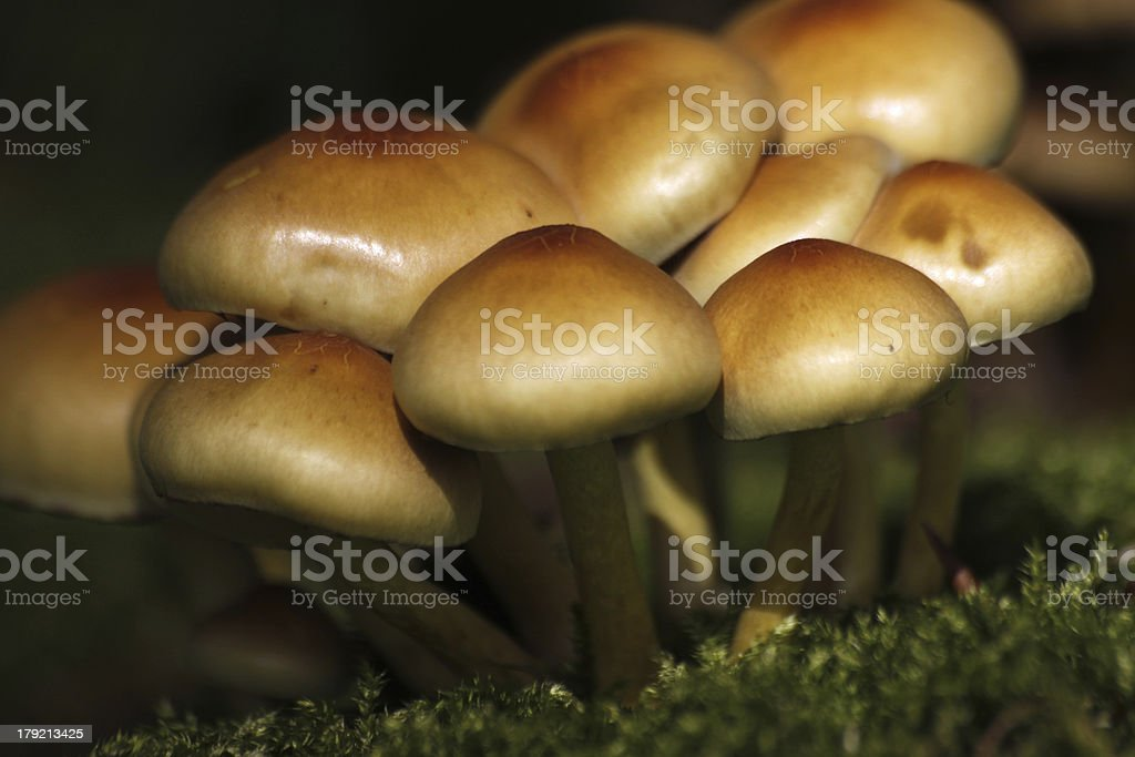 Sulphur tuft stock photo
