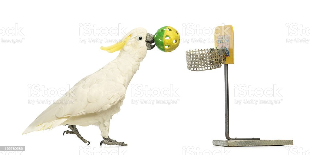 Sulphur-crested Cockatoo, Cacatua galerita, 30 years old, playing basketball stock photo