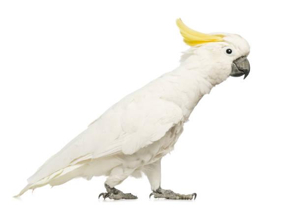 Sulphurcrested cockatoo cacatua galerita 30 years old walking in of picture id855824846?b=1&k=6&m=855824846&s=612x612&w=0&h=y9ujl1vqt3we8ao6ks 2gozhj5pzd5x8dbk4j6shjwa=
