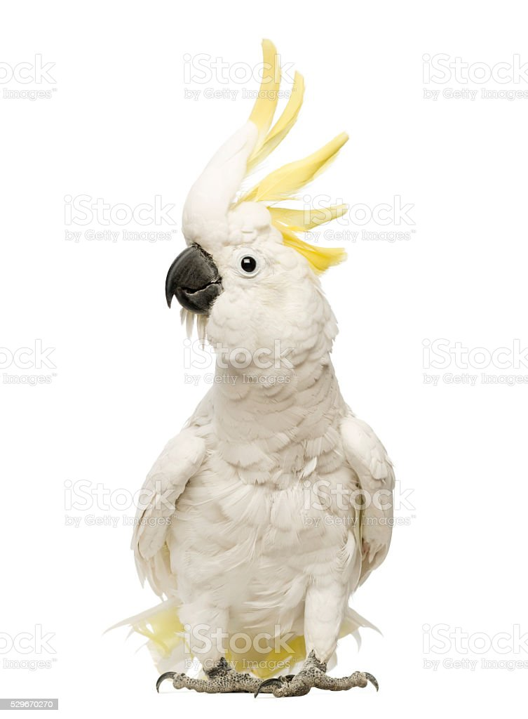 Sulphur-crested Cockatoo, Cacatua galerita, 30 years old, with crest up royalty-free stock photo