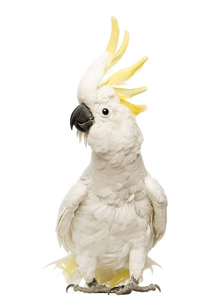 Sulphur-crested Cockatoo, Cacatua galerita, 30 years old, with crest up stock photo