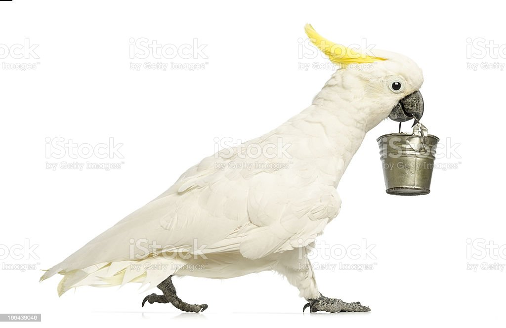 Sulphur-crested Cockatoo, Cacatua galerita, walking and holding a bucket stock photo
