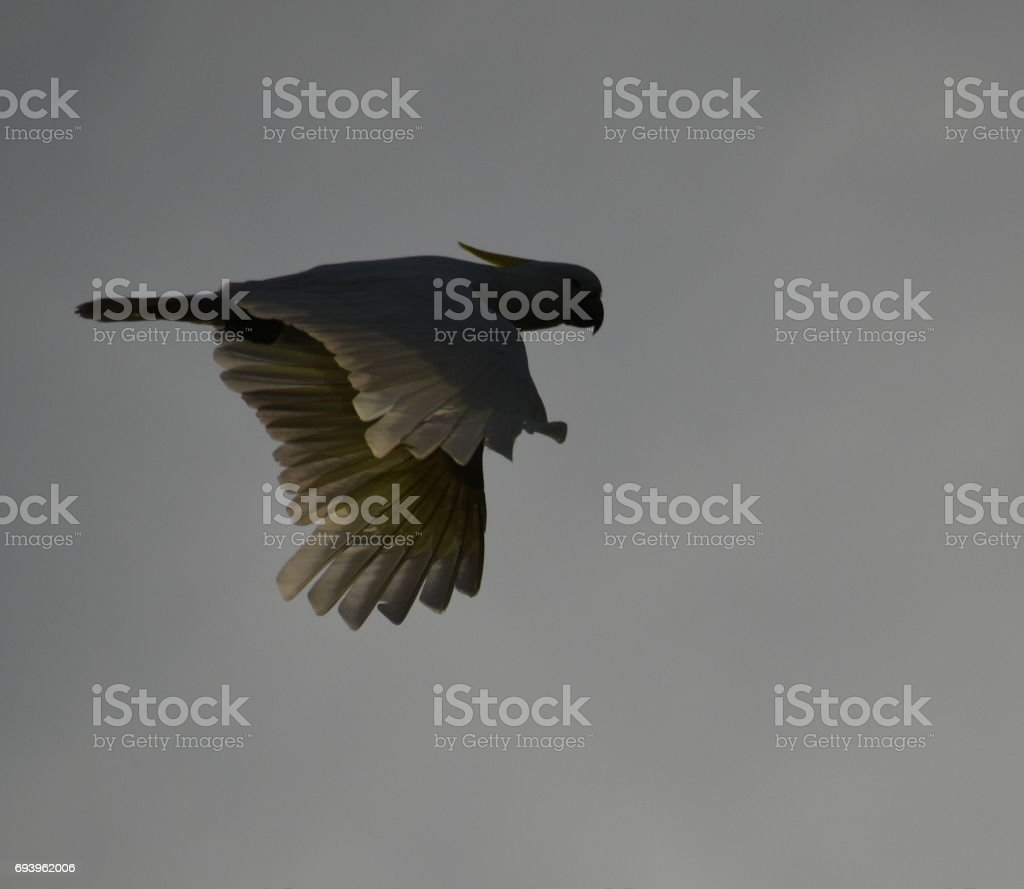 Sulphur-crested cockatoo flying stock photo