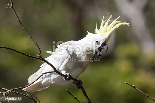 Sulphur-crested Cockatoo with crest erect