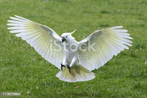 Sulphur-crested cockatoo in flight