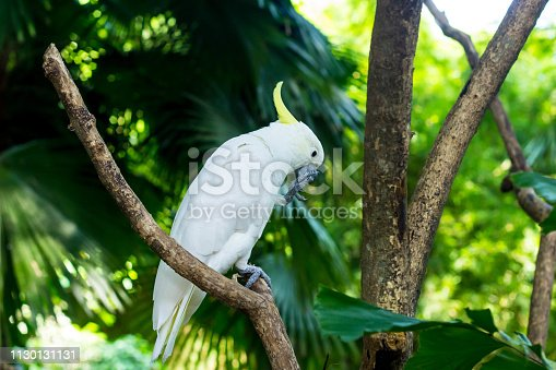 Sulphur-crested Cockatoo Sit on a Tree Branch in Tropical Rainforest. White Parrot Portrait.