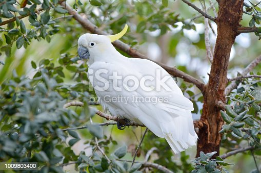 Sulphur-crested cockatoo sit on a tree branch. It considered a highly intelligent bird found in wooded habitats in Australia, New Guinea and some of the islands of Indonesia.