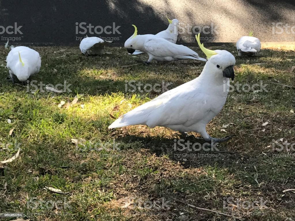 Sulphur-crested cockatoos royalty-free stock photo