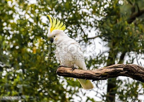 A Sulphur crested cockatoo sitting in a tree showing of its plumage and playing