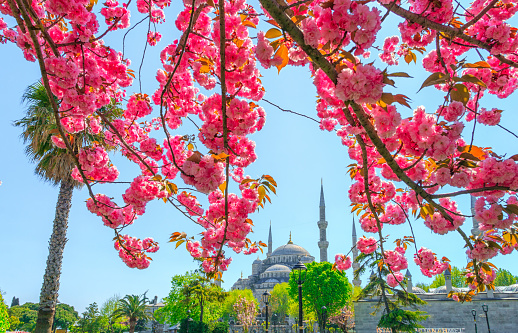 Sultanahmet Blue Mosque and Cherry tree blossom flowers at spring