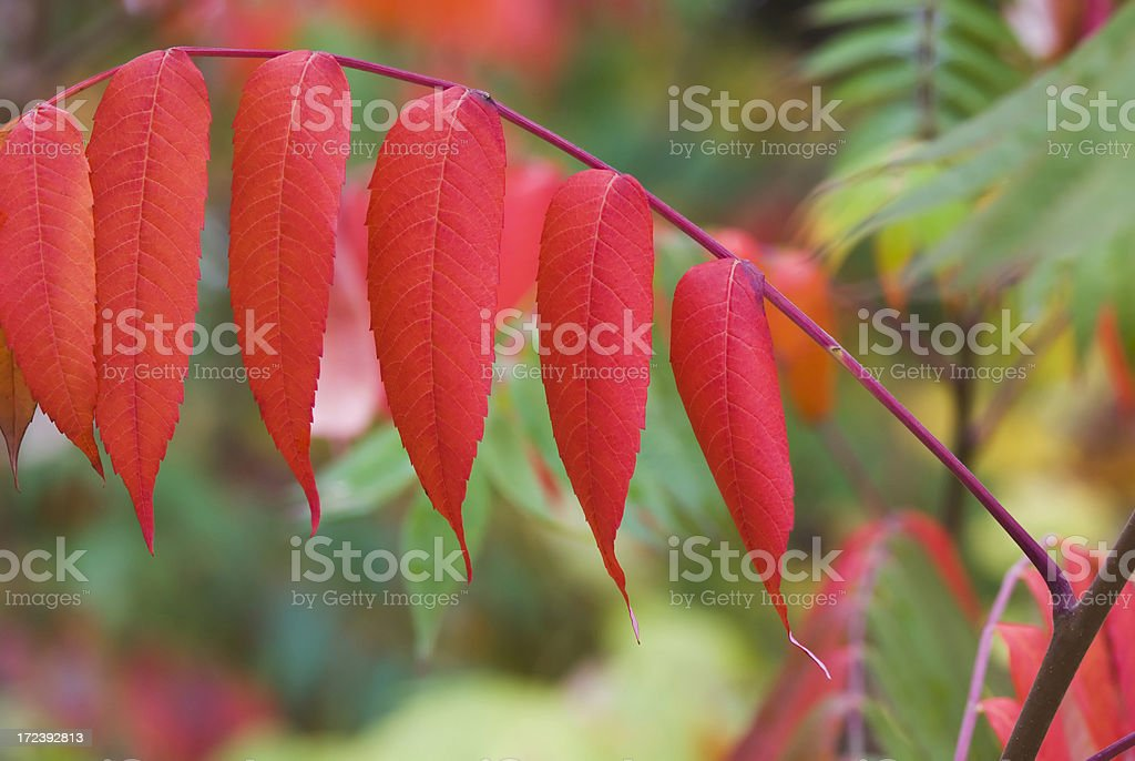 Sumac in the fall royalty-free stock photo