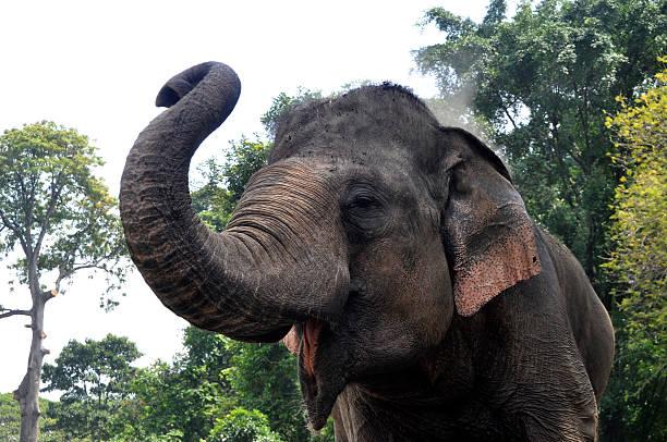 Sumatera elephant picture id586360888?b=1&k=6&m=586360888&s=612x612&w=0&h=uh5hn 8cmel6 h46xzazk1nkqygqrrap6ahbjdvja74=