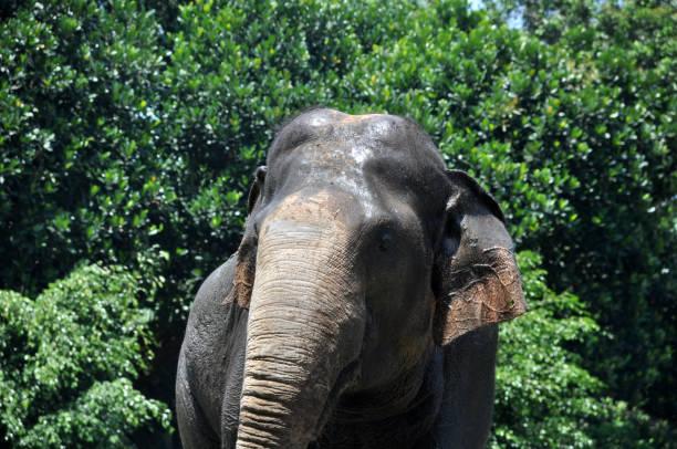 sumatra-elefanten - elefanten umriss stock-fotos und bilder