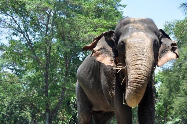 Sumatra elephant picture id840719264?b=1&k=6&m=840719264&s=612x612&w=0&h=8wdz1fpbojncuhaq 69kr ptq1zysyj2yigwx qrthk=