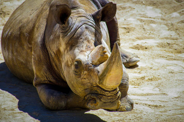 Sumatra rhino resting picture id639811666?b=1&k=6&m=639811666&s=612x612&w=0&h=nxe qn1ube7ijfr6uwrrc21cpyqdfb4qfw mnhysytw=