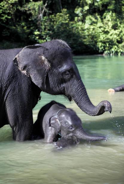 Sumatran elephant bathing in river with baby picture id1163028245?b=1&k=6&m=1163028245&s=612x612&w=0&h=6eq4nupn2jwb9jr chsqqdmbivjgthkbfdox8gxmazg=