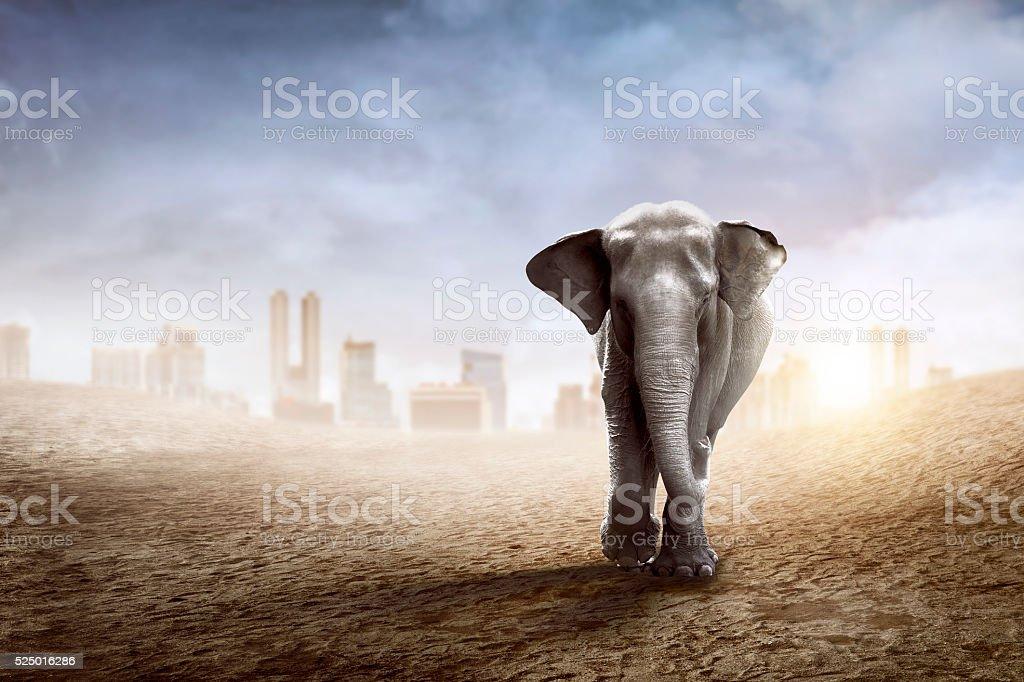 Sumatran elephant walk on the desert stock photo