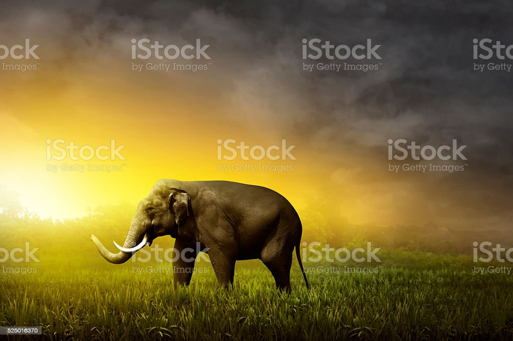 Sumatran elephant walking on the field stock photo