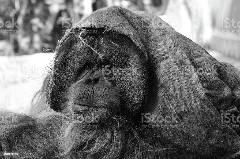Sumatran Orangutan royalty-free stock photo