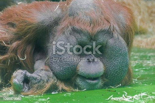Sumatran orangutan (Pongo abelii) lying and looking down