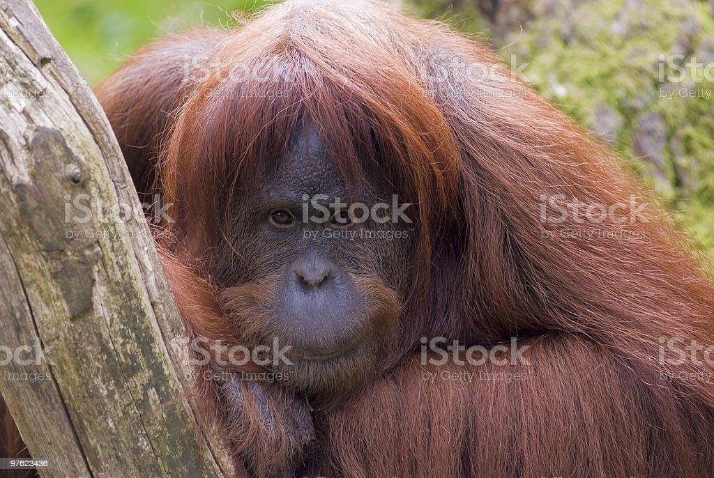 Sumatran Orangutan royaltyfri bildbanksbilder